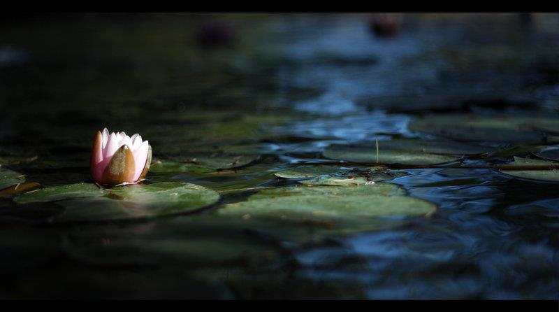 Life is a Lotus flower. It grows in a dirty swamp, many ...